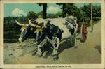 Yoked Oxen, Nova Scotia, Canada