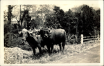 Two Oxen standing on the side of a road