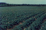 Carleton Potato Field